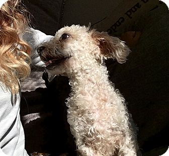 Poodle (Miniature) Mix Dog for adoption in New York, New York - Max