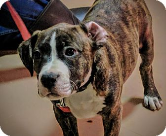 American Pit Bull Terrier/Boxer Mix Puppy for adoption in Foster, Rhode Island - Mulder