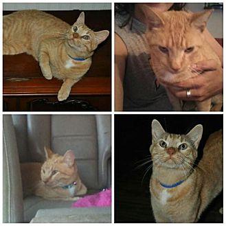 Domestic Shorthair Cat for adoption in Kohler, Wisconsin - Tiger