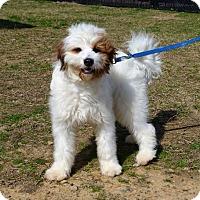 Adopt A Pet :: *Squeakers - PENDING - Westport, CT