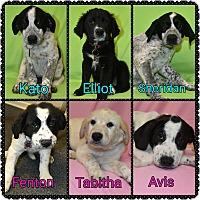 Adopt A Pet :: PUPPIES - female - bridgeport, CT