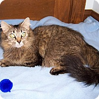 Adopt A Pet :: Zarya-Young Maine-DECLAWED - Taylor Mill, KY