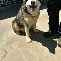 Alaskan Malamute Mix Dog for adoption in Mt Prospect, Illinois - Izzy