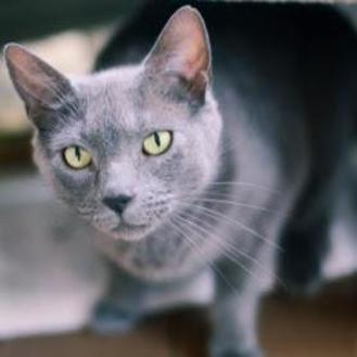 Domestic Shorthair/Domestic Shorthair Mix Cat for adoption in New Freedom, Pennsylvania - Gray Baby
