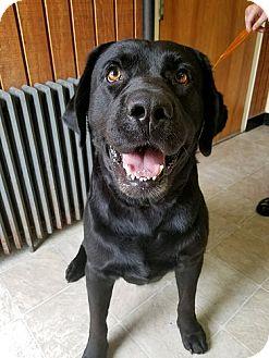 Labrador Retriever Dog for adoption in Annapolis, Maryland - Tubby