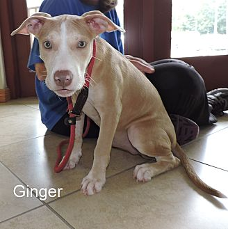 Pit Bull Terrier Mix Puppy for adoption in Slidell, Louisiana - Ginger