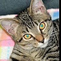 Domestic Shorthair Kitten for adoption in Albemarle, North Carolina - Oliver