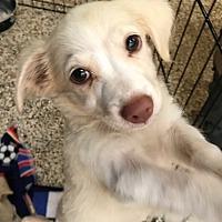 Adopt A Pet :: Porsche - Thousand Oaks, CA