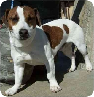 Jack Russell Terrier Dog for adoption in North Judson, Indiana - Digger