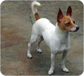 Jack Russell Terrier/Corgi Mix Dog for adoption in Los Angeles, California - ARCHIE - A GREEN EYED LOVER