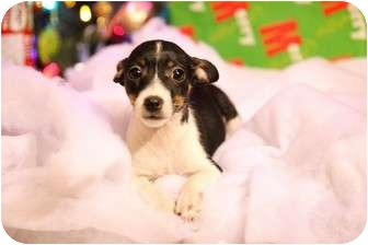 Jack Russell Terrier/Rat Terrier Mix Puppy for adoption in ST LOUIS, Missouri - Jill