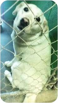 Labrador Retriever Mix Dog for adoption in BLACKWELL, Oklahoma - Missy
