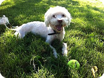 Poodle (Miniature)/Bichon Frise Mix Dog for adoption in Lake Forest, California - Max