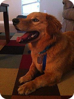 Golden Retriever/Cardigan Welsh Corgi Mix Dog for adoption in Brattleboro, Vermont - Corky- In New England