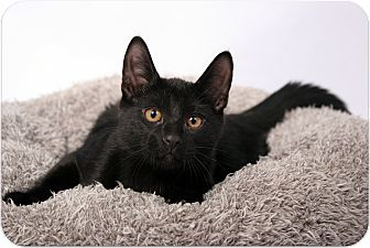 Domestic Shorthair Cat for adoption in Sterling Heights, Michigan - Wilbur-ADOPTED!