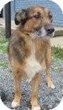 German Shepherd Dog/Shepherd (Unknown Type) Mix Dog for adoption in Staunton, Virginia - Rocky