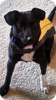 German Shepherd Dog/Corgi Mix Dog for adoption in Hilliard, Ohio - Thor- Adoption Pending