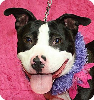 Bull Terrier Mix Dog for adoption in Jackson, Michigan - Margie