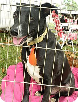Labrador Retriever/Shepherd (Unknown Type) Mix Dog for adoption in Harrisburg, Pennsylvania - Camden been waiting 3 years