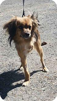Papillon Mix Dog for adoption in Yelm, Washington - Mogey