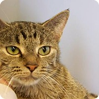 Domestic Shorthair Cat for adoption in Westville, Indiana - Raisin