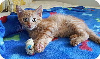Domestic Shorthair Kitten for adoption in Studio City, California - Billy