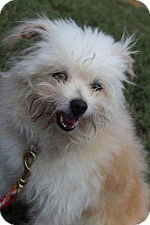 Pomeranian Mix Dog for adoption in Waldorf, Maryland - Custard