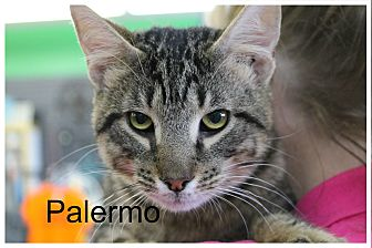 Domestic Shorthair Kitten for adoption in Wichita Falls, Texas - Palermo