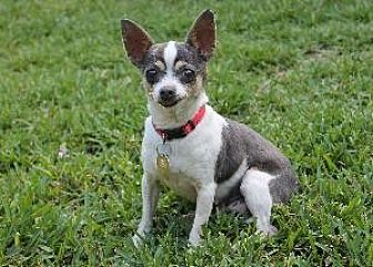 Chihuahua Mix Dog for adoption in Richardson, Texas - Primrose
