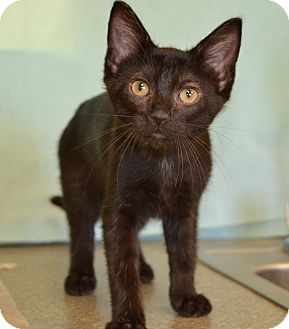 Domestic Shorthair Cat for adoption in Larned, Kansas - Orchid