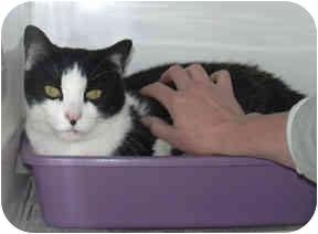 Domestic Shorthair Cat for adoption in West Warwick, Rhode Island - Gator (URGENT)
