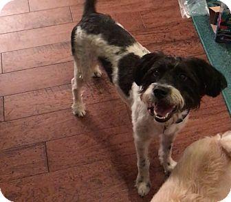 Poodle (Miniature)/Schnauzer (Miniature) Mix Dog for adoption in Humble, Texas - Sadie
