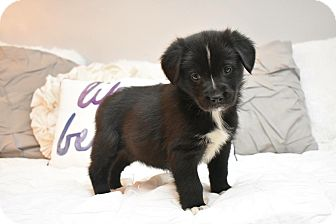 German Shepherd Dog/Border Collie Mix Puppy for adoption in Memphis, Tennessee - Shirley