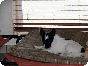 Terrier (Unknown Type, Small) Mix Puppy for adoption in Apache Junction, Arizona - Buster