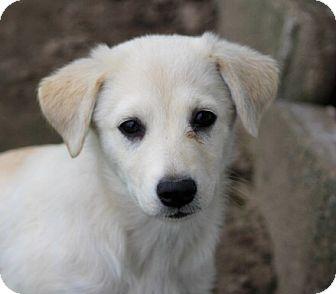 Labrador Retriever/Border Collie Mix Puppy for adoption in Liberty Center, Ohio - Vanda