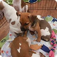 Adopt A Pet :: Pippa - Thompson, PA