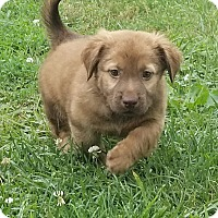 Chihuahua/Basset Hound Mix Puppy for adoption in Alexandria, Virginia - Branch (The Troll Clan)