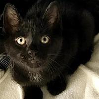 Adopt A Pet :: Pounce - Island Park, NY