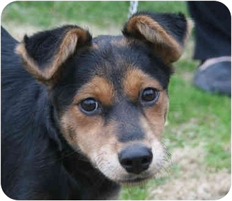 Shepherd (Unknown Type) Mix Puppy for adoption in kennebunkport, Maine - Twinkle-ADOPTED!