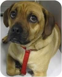 Beagle/Pug Mix Dog for adoption in Kansas City, Missouri - Ace