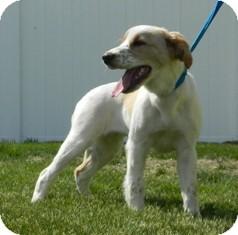 Spaniel (Unknown Type) Mix Dog for adoption in Columbus, Nebraska - Kylee