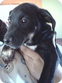 Labrador Retriever/Shepherd (Unknown Type) Mix Puppy for adoption in Hammonton, New Jersey - Molly