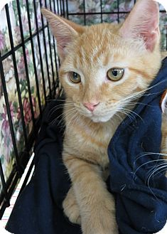 Domestic Shorthair Kitten for adoption in Frederick, Maryland - Henry