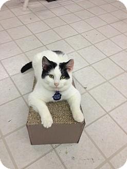 Domestic Shorthair Cat for adoption in Aiken, South Carolina - Si
