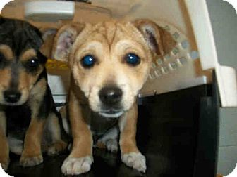 Terrier (Unknown Type, Small) Mix Puppy for adoption in Las Vegas, Nevada - J's Justin