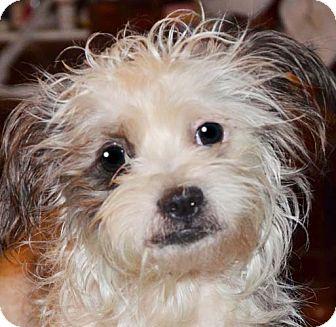 Maltese/Poodle (Miniature) Mix Dog for adoption in Staunton, Virginia - Sully