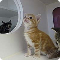 Adopt A Pet :: Sabrina's Kittens - Madison, AL