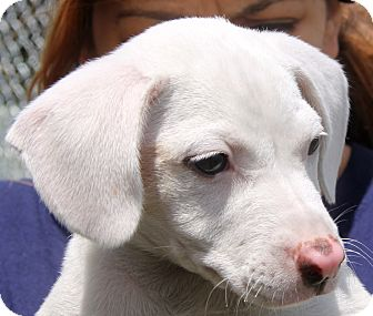 Labrador Retriever Mix Puppy for adoption in Pewaukee, Wisconsin - Coconut -  LOVES water
