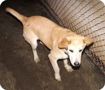Husky/Labrador Retriever Mix Puppy for adoption in Henderson, North Carolina - Diamond