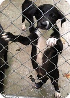 Border Collie/Labrador Retriever Mix Puppy for adoption in Martinsville, Indiana - Braelyn